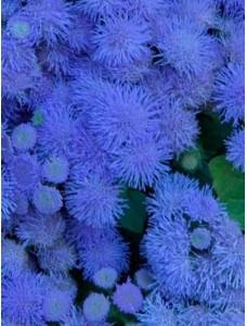 Агератум Голубая норка 0.1 гр