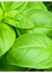 Базилик Зеленый Изумруд