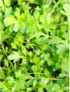 Кресс-салат  Зимний