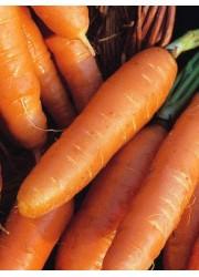 Морковь Амстердамская 25 грамм
