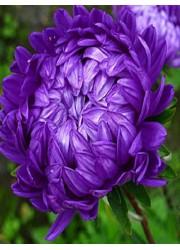 Астра Фиолетовая башня 0.3 гр