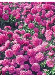 Астра Карликовая Розовое очарование 0.3 гр