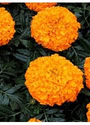 Бархатцы прямостоячие Оранжевый принц 0.5 гр