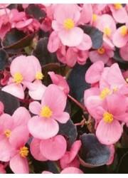 Бегония Аккорд светло-розовая 10 шт
