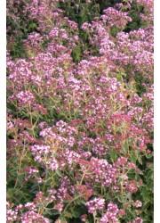 Душица Розовая Фея
