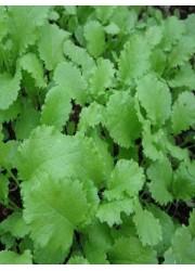 Горчица листовая Прима 1 гр