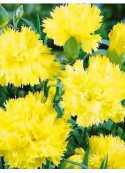 Гвоздика садовая Шабо желтая 0.1 гр