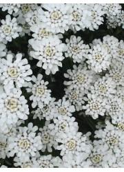 Иберис вечнозеленый Снегопад 0.1 гр