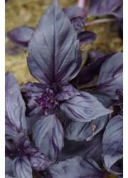 Базилик Роззи синий -  250 гр семян