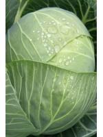Капуста белокочанная Амазон F1 -  2500 шт семян
