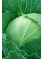 Капуста белокочанная Газель F1 -  2500 шт семян