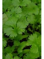 Кориандр Карибе F1 -  50 гр семян