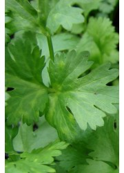 Кориандр Марино -  250 гр семян