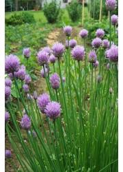 Лук шнит Бигги -  50 гр семян