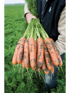 Морковь БАЛТИМОР F1 (1,8-2,0мм) -  100000 шт семян