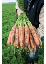 Морковь БАЛТИМОР F1 (1,8-2,0мм) -  500000 шт семян