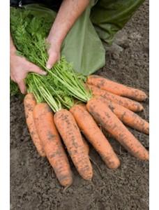 Морковь Базель F1 (1,8-2,0мм) -  100000 шт семян