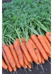 Морковь Белградо F1  1,6-1,8 мм -  25000 шт семян