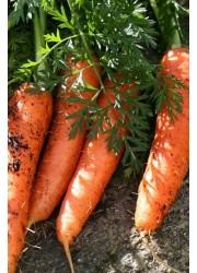 Морковь Наярит F1 (1,6-1,8 мм) -  100000 шт семян