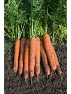Морковь Намур (1,6-1,8 мм) -  100000 шт семян