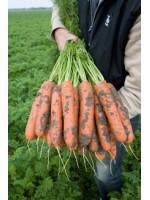 Морковь Нарбонне F1 (1,6-1,8 мм) -  100000 шт семян