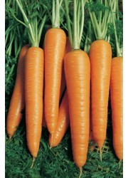 Морковь Вита лонга -  50 гр семян