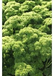 Петрушка Петра -  50 гр семян