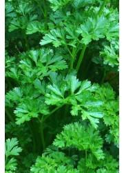 Петрушка Риалто -  50 гр семян