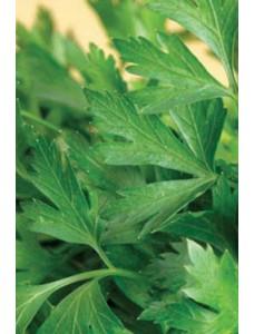 Петрушка Гигант Италии -  250 гр семян