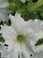 Петуния ампельная крупноцветковая белая