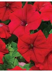 Петуния ампельная крупноцветковая красная