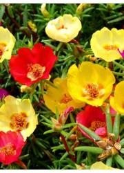 Портулак крупноцветковый Махровая смесь