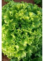 Салат Маритима -  5000 шт семян
