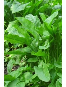 Щавель Бельвиль -  1 кг  семян