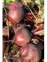 Свекла Бикорес 3,5-4,0мм -  50000 шт семян