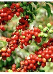 Кофе аравийский карликовый Альберт 5 шт