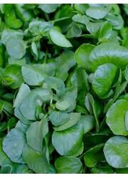 Кресс-салат  Обыкновенный 1.5 гр