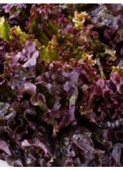 Салат Дубовый лист красный 1 гр