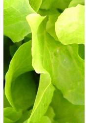 Салат Дубовый лист салатовый