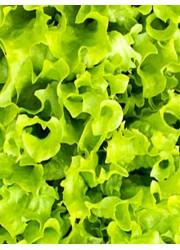 Салат Лоллоби листовой  1 гр