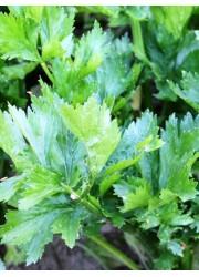 Сельдерей Обыкновенный листовой 0.5 гр