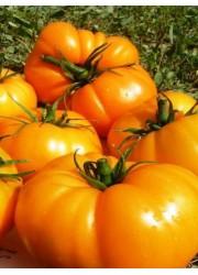 Томат Оранжевый Гигант  0.1 гр