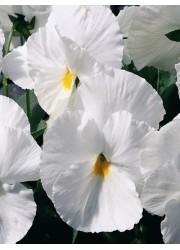 Виола Белая леди 0.1 гр