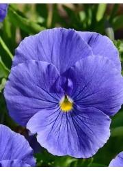Виола крупноцветковая Голубая 0.1 гр