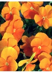 Виола Оранжевая 0.1 гр