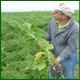 Селекция семян кормовой свеклы