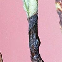 Болезни рассады томатов - черная ножка