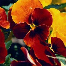 Фиалка оранжевая