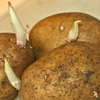 Картофель готовый к посадки