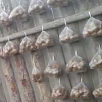 Проращивание картофеля в полиэтиленовых пакетах